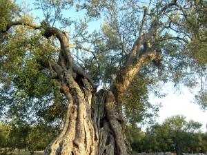 pianta di Ulivo secolare in Puglia